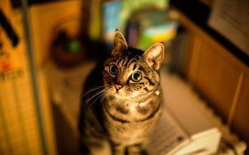фон, кот, кошка, дом, полосатый