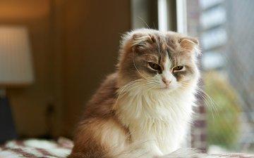 морда, кот, кошка, комната, окно, пушистая, шотландская, вислоухая, длинношерстная, сонная