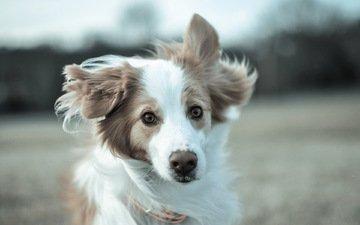 взгляд, собака, друг, бордер-колли, бордер -колли
