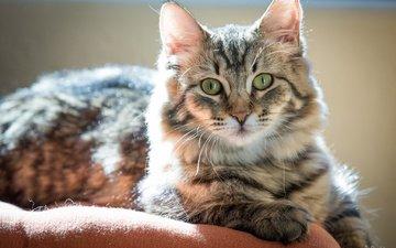 кот, кошка, взгляд, лежит, полосатый