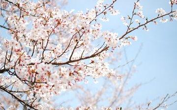 небо, цветы, дерево, цветение, ветки, весна, слива