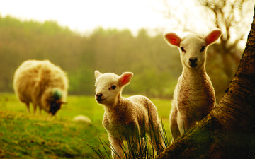 трава, деревья, животные, детки, овцы, овечки
