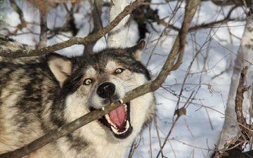 ветка, снег, лес, зима, хищник, зубы, оскал, волк