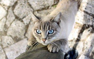 усы, кошка, тень, животное, голубые глаза, лапки, сиамская