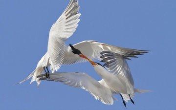 небо, крылья, птицы, любовь, поцелуй, крачки