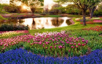 flowers, trees, sunrise, the sun, rays, park, morning, colorful, japan, pond, tulips, blue, tokyo, muscari