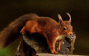 лес, животные, рыжая, уши, белка, пенек, кисточки