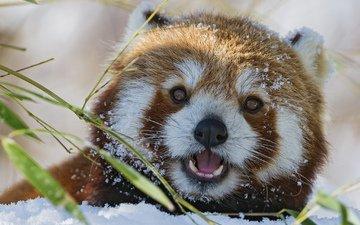 морда, снег, красная, взгляд, панда, бамбук, малая