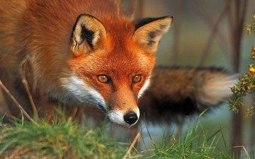 трава, природа, взгляд, рыжая, лиса, лисица, охота, ожидание, морд