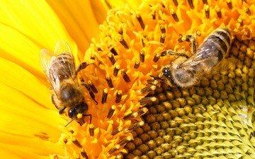 макро, цветок, подсолнух, насекомые, пчелы