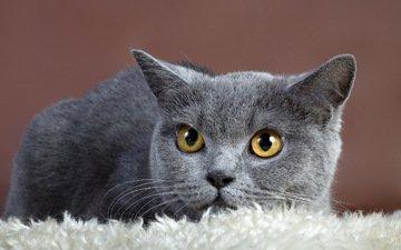 фон, кот, кошка, взгляд, серый, британская кошка
