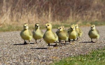 дорожка, птицы, утята, утки, утка, птенцы
