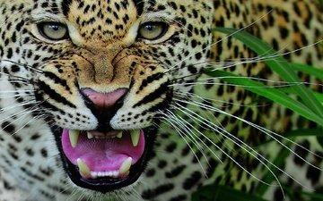 морда, усы, леопард, клыки, хищник, оскал