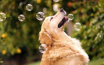 природа, собака, мыльные пузыри, золотистый ретривер