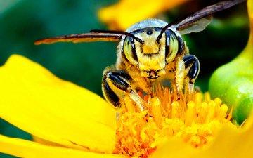 желтый, цветок, насекомые, пчела, нектар, мед.цветок