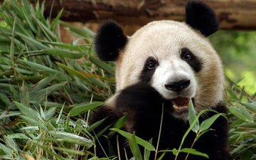 морда, взгляд, панда, медведь, бамбук