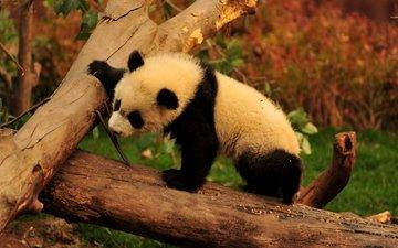 деревья, ветки, панда, медведь, животное, детеныш