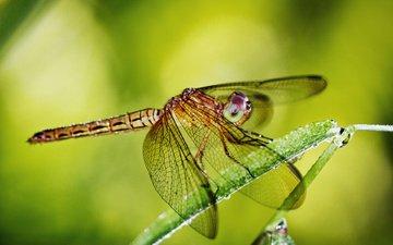 глаза, макро, роса, крылья, насекомые, стрекоза, травинка