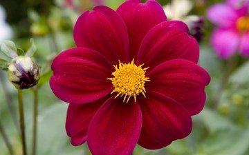 цветы, макро, сад, яркие, нарядные, георгины