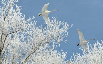 небо, деревья, снег, природа, зима, полет, иней, птицы, белые, лебеди