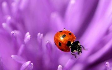 природа, макро, цветок, фиолетовый, насекомые, божья коровка