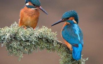 ветка, природа, птицы, мох, зимородок