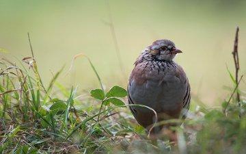 grass, leaves, bird, partridge