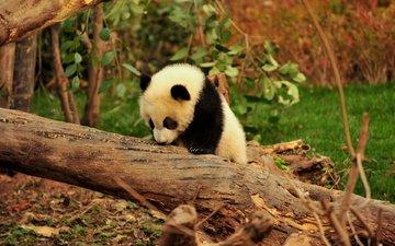 дерево, животные, панда, джунгли