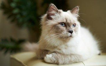 глаза, кот, кошка, взгляд, дом, голубые, подушка, пушистая, сиамская
