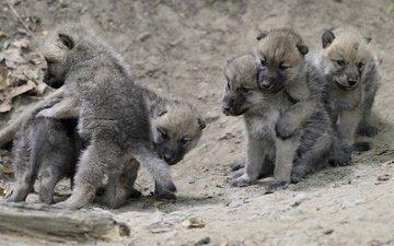 животные, игра, малыши, волки, волчата