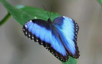 зелёный, бабочка, насекомые, голубая, листочек, бабочка morpho, морфо, морфо дидиус