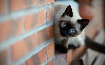 кошка, стена, котенок, кирпич, сиамская