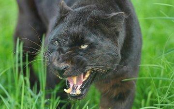 морда, хищник, пантера, черная, оскал, угроза