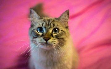 фон, кот, кошка, взгляд, полосатый, пушистая