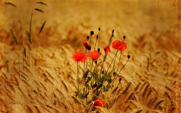 flowers, nature, background, field, maki, wheat, spikelets