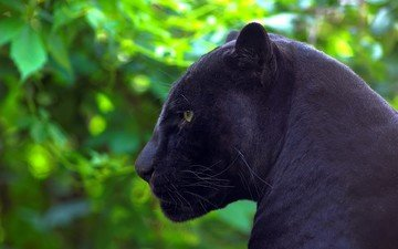 природа, хищник, профиль, пантера, черная