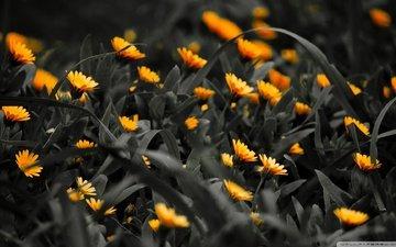 cvety, zheltye, na, traurnom, fone