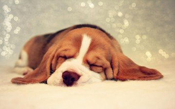 сон, собака, щенок, бигль