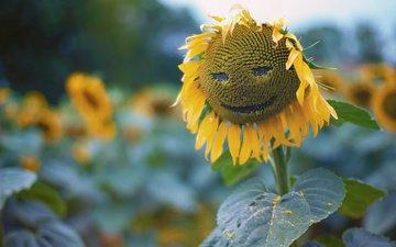 природа, листья, подсолнух, krasivo, podsolnux, удыбка