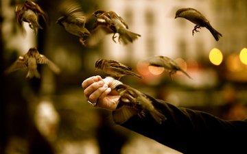 oboi, ruka, ptica, vorobi, kormit, korm