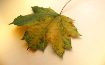 осень, лист, клен