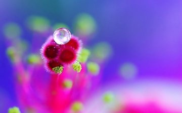 cvety, maxrovye, rosinka