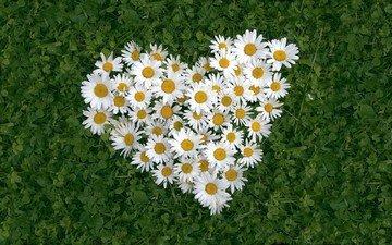 fon, cvety, romashki, belye, trava, listya, serdce