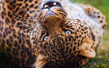 морда, усы, взгляд, леопард, клыки, оскал