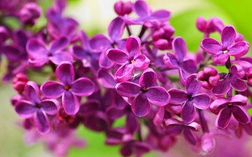 flowers, nature, macro, petals, spring, lilac