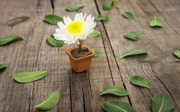 leaves, flower, white, daisy, floor, pot