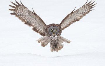 сова, полет, крылья, птица, бородатая неясыть