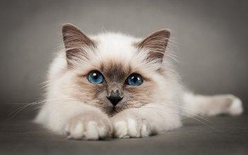 кошка, голубые глаза, киска, пушистая, сиамская