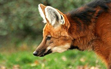 животные, лиса, хищник, охота, гривистый волк, гуара