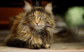 кошка, взгляд, лежит, пушистая, трехцветная
